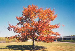 Red Oak (Quercus rubra) at James Valley Nursery