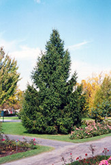 Norway Spruce (Picea abies) at James Valley Nursery