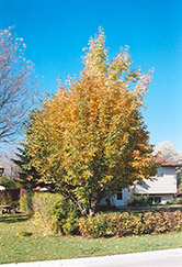Oakleaf Mountain Ash (Sorbus x hybrida) at James Valley Nursery