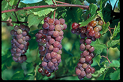 Swenson Red Grape (Vitis 'Swenson Red') at James Valley Nursery