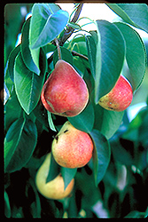 Summercrisp Pear (Pyrus 'Summercrisp') at James Valley Nursery