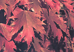 Firefall Maple (Acer x freemanii 'Firefall') at James Valley Nursery