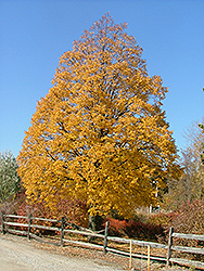 Corinthian Linden (Tilia cordata 'Corinthian') at James Valley Nursery