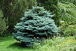 Globe Blue Spruce (Picea pungens 'Globosa') at James Valley Nursery