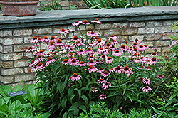 Magnus Coneflower (Echinacea purpurea 'Magnus') at James Valley Nursery