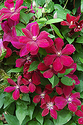 Rouge Cardinal Clematis (Clematis 'Rouge Cardinal') at James Valley Nursery