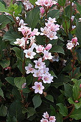 Polka Weigela (Weigela florida 'Polka') at James Valley Nursery
