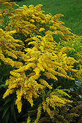 Crown Of Rays Goldenrod (Solidago 'Crown Of Rays') at James Valley Nursery