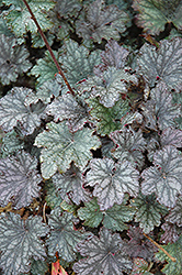 Frosted Violet Coral Bells (Heuchera 'Frosted Violet') at James Valley Nursery