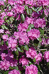 P.J.M. Rhododendron (Rhododendron 'P.J.M.') at James Valley Nursery