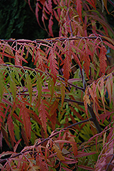 Tiger Eyes® Sumac (Rhus typhina 'Bailtiger') at James Valley Nursery