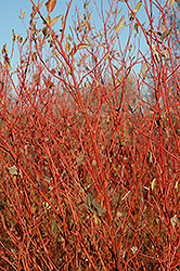 Cardinal Dogwood (Cornus sericea 'Cardinal') at James Valley Nursery