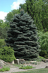 Fat Albert Blue Spruce (Picea pungens 'Fat Albert') at James Valley Nursery