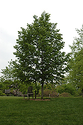 Frontyard Linden (Tilia americana 'Frontyard') at James Valley Nursery