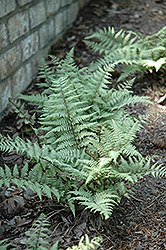 Ghost Fern (Athyrium 'Ghost') at James Valley Nursery