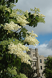 Ivory Silk Japanese Tree Lilac (Syringa reticulata 'Ivory Silk') at James Valley Nursery
