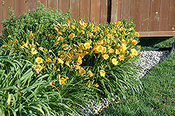 Stella de Oro Daylily (Hemerocallis 'Stella de Oro') at James Valley Nursery