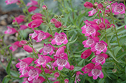 Red Rocks Beard Tongue (Penstemon x mexicali 'Red Rocks') at James Valley Nursery
