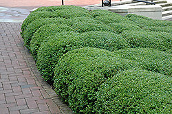Chicagoland Green Boxwood (Buxus 'Glencoe') at James Valley Nursery
