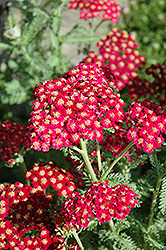 Red Velvet Yarrow (Achillea millefolium 'Red Velvet') at James Valley Nursery