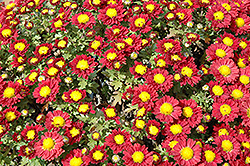 Red Daisy Chrysanthemum (Chrysanthemum 'Red Daisy') at James Valley Nursery
