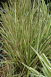 Northern Lights Tufted Hair Grass (Deschampsia cespitosa 'Northern Lights') at James Valley Nursery