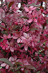 Royal Raindrops Flowering Crab (Malus 'Royal Raindrops') at James Valley Nursery