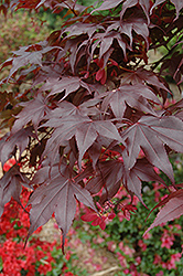 Bloodgood Japanese Maple (Acer palmatum 'Bloodgood') at James Valley Nursery