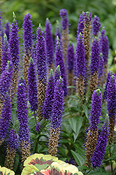 Royal Candles Speedwell (Veronica spicata 'Royal Candles') at James Valley Nursery