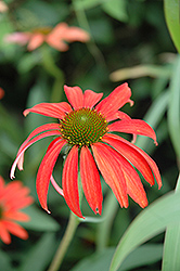Tomato Soup Coneflower (Echinacea 'Tomato Soup') at James Valley Nursery