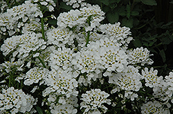 Purity Candytuft (Iberis sempervirens 'Purity') at James Valley Nursery
