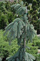 The Blues Colorado Blue Spruce (Picea pungens 'The Blues') at James Valley Nursery
