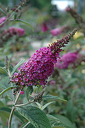 Miss Ruby Butterfly Bush (Buddleia davidii 'Miss Ruby') at James Valley Nursery