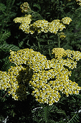 Sunny Seduction Yarrow (Achillea millefolium 'Sunny Seduction') at James Valley Nursery
