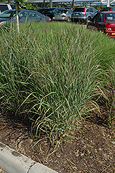 Ruby Ribbons Switch Grass (Panicum virgatum 'Ruby Ribbons') at James Valley Nursery