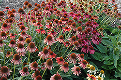 Cheyenne Spirit Coneflower (Echinacea 'Cheyenne Spirit') at James Valley Nursery