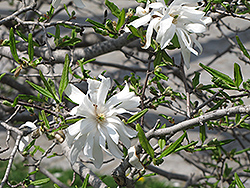 Royal Star Magnolia (Magnolia stellata 'Royal Star') at James Valley Nursery
