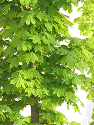 Columnar Norway Maple (Acer platanoides 'Columnare') at James Valley Nursery