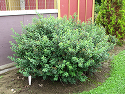 Tor Spirea (Spiraea betulifolia 'Tor') at James Valley Nursery