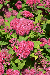 Double Play® Red Spirea (Spiraea japonica 'SMNSJMFR') at James Valley Nursery