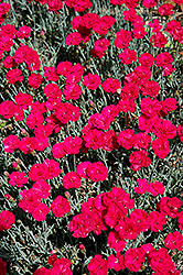 Frosty Fire Pinks (Dianthus 'Frosty Fire') at James Valley Nursery