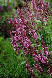 Sensation Deep Rose Meadow Sage (Salvia nemorosa 'Sensation Deep Rose') at James Valley Nursery