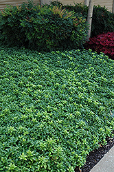 Green Sheen Japanese Spurge (Pachysandra terminalis 'Green Sheen') at James Valley Nursery