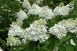 Fire And Ice Hydrangea (Hydrangea paniculata 'Wim's Red') at James Valley Nursery