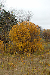 Pussy Willow (Salix discolor) at James Valley Nursery