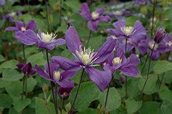 Arabella Clematis (Clematis 'Arabella') at James Valley Nursery