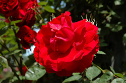 Ramblin' Red Rose (Rosa 'Ramblin' Red') at James Valley Nursery