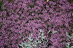 Pink Chintz Creeping Thyme (Thymus praecox 'Pink Chintz') at James Valley Nursery