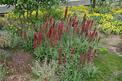 Red Feathers (Echium amoenum) at James Valley Nursery