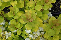 Glow Girl® Birch Leaf Spirea (Spiraea betulifolia 'Tor Gold') at James Valley Nursery